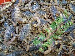 蝎子多少钱一公斤_蝎子价格_蝎子市场价格_蝎子市场行情_蝎子价格查询_全蝎价格 ...