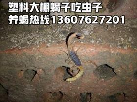 养殖技术网_【蝎子养殖技术】 蝎子怎么喂养,怎么饲养蝎子_蝎子养殖网